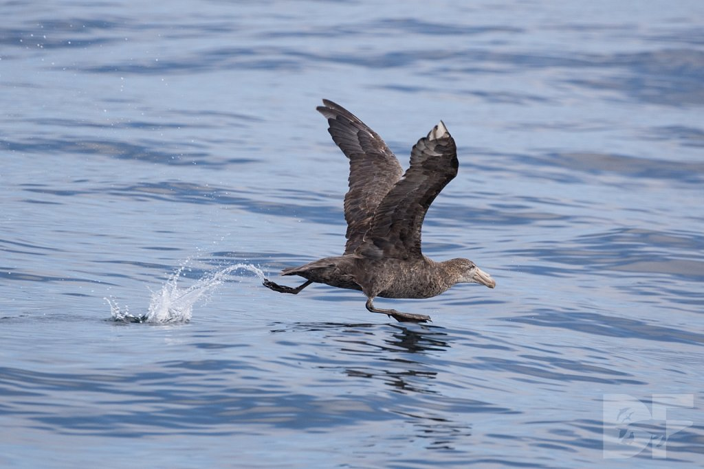 Northern Great Petrel II