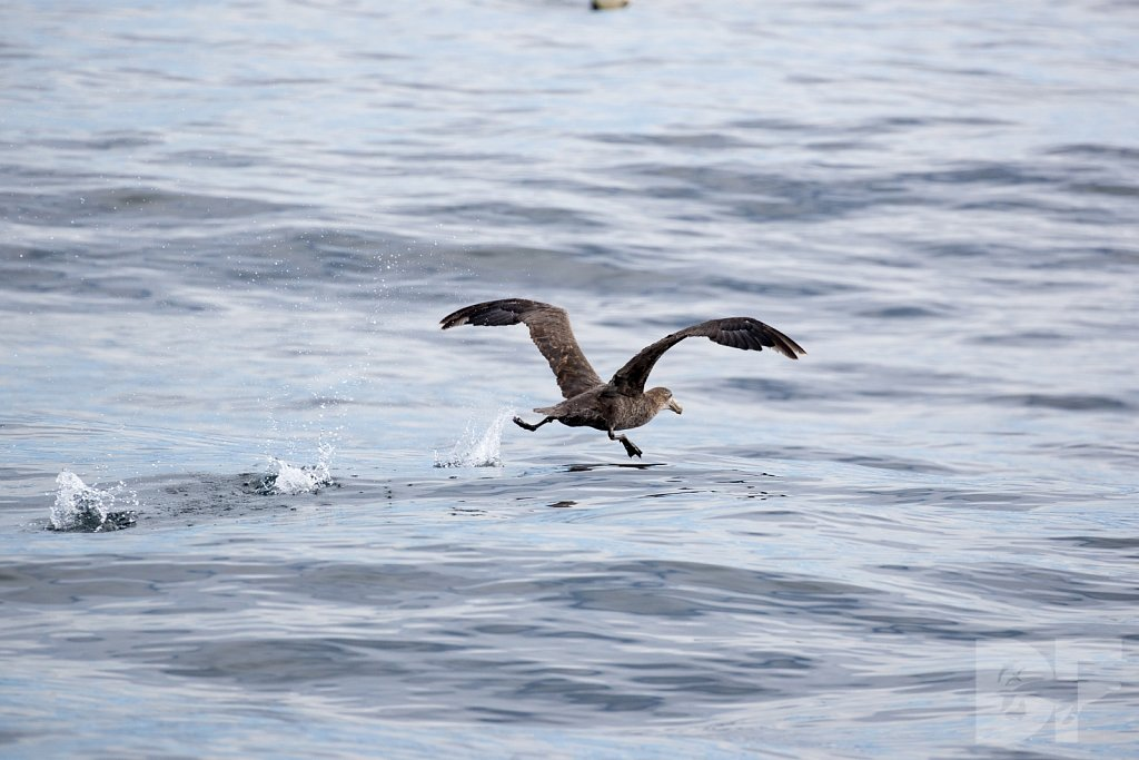Northern Great Petrel III