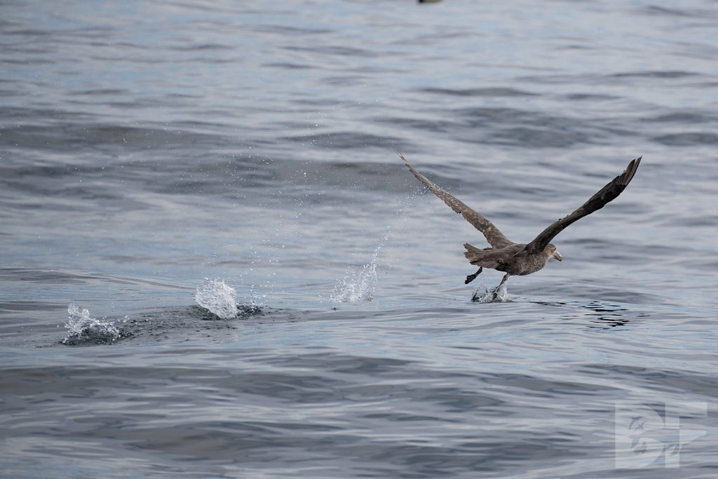 Northern Great Petrel IV