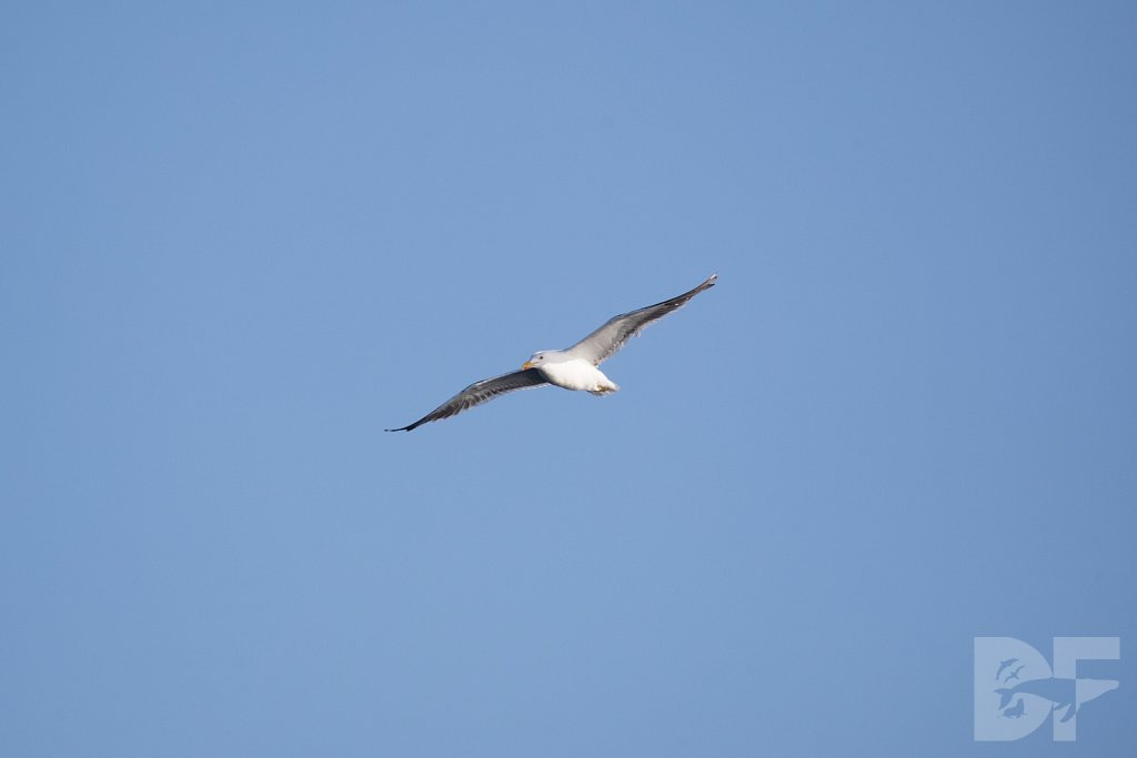 Short Backed Black Gull I