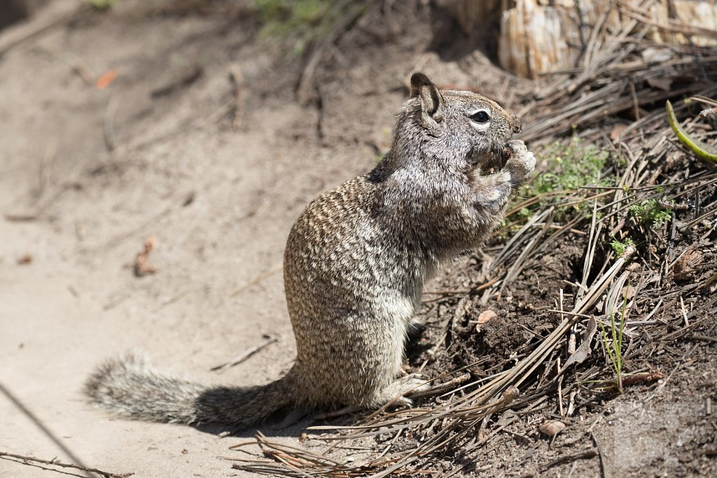 Southern California Ground Squirrel