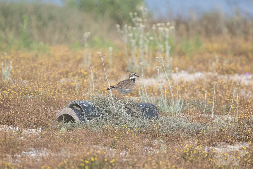 Comfortable Killdeer