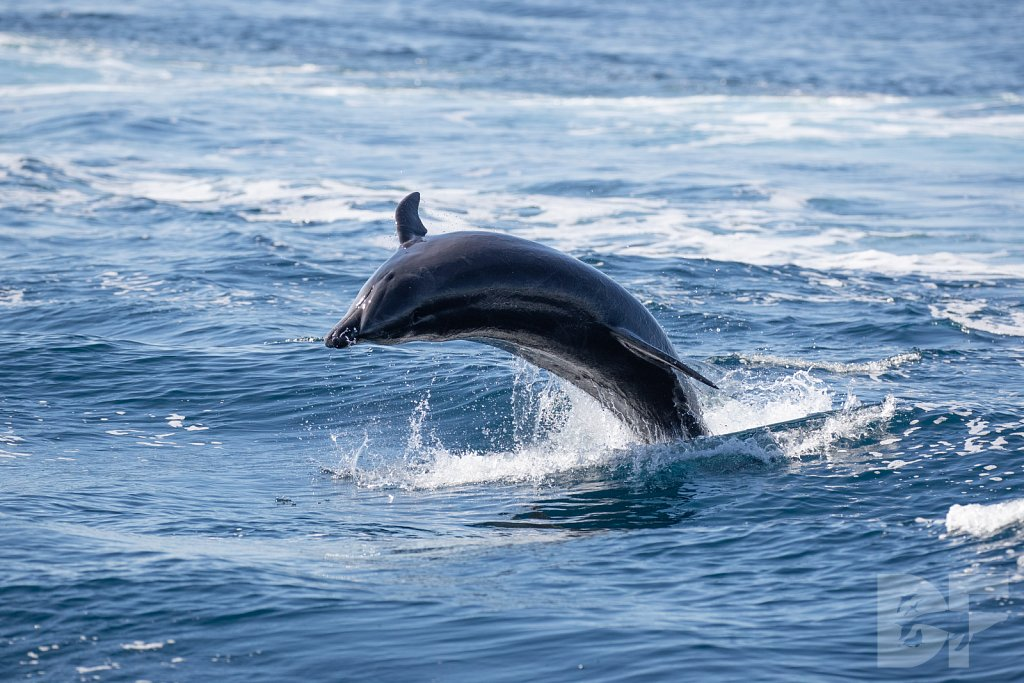 Determined Dolphin VII