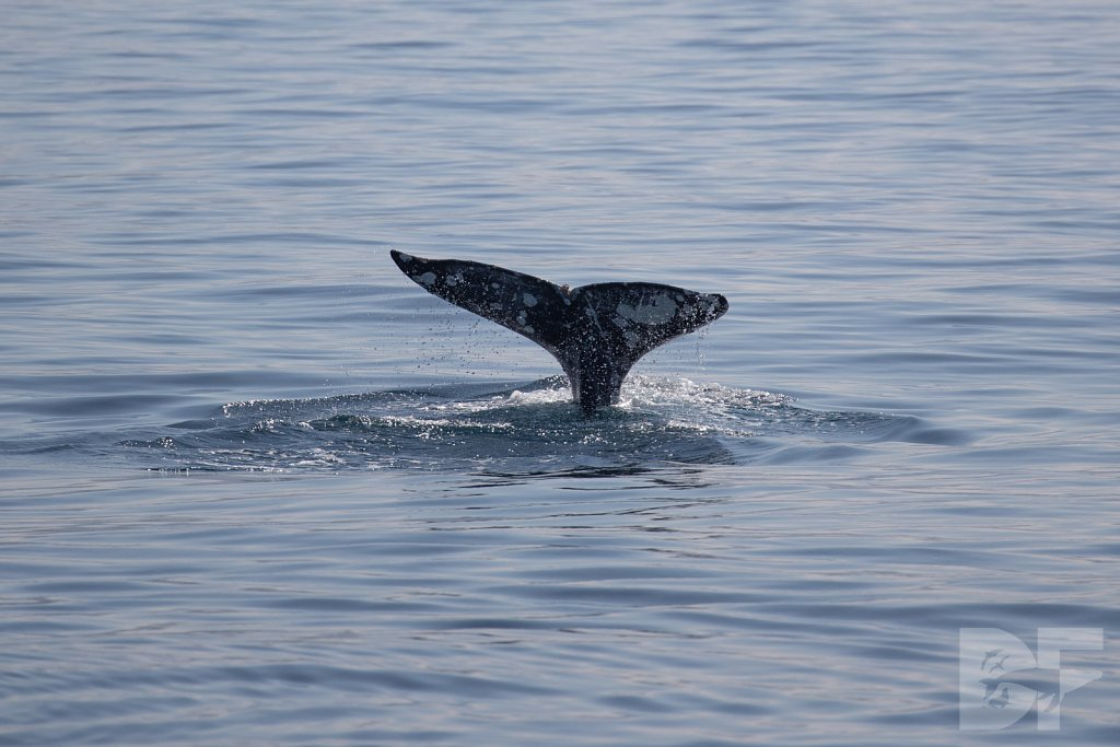 There Go Gray Whales II