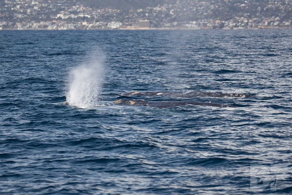 There Go Gray Whales VII