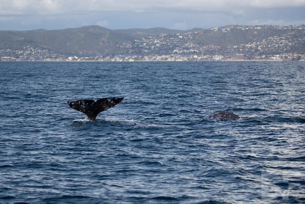There Go Gray Whales VIII