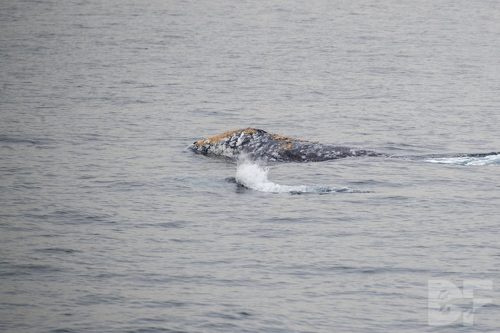 There Go Gray Whales XIII
