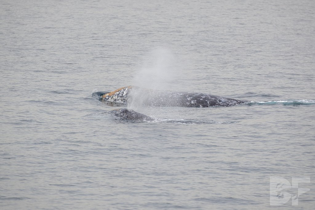 There Go Gray Whales XIV