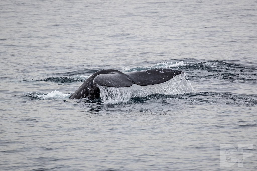 There Go Gray Whales XV