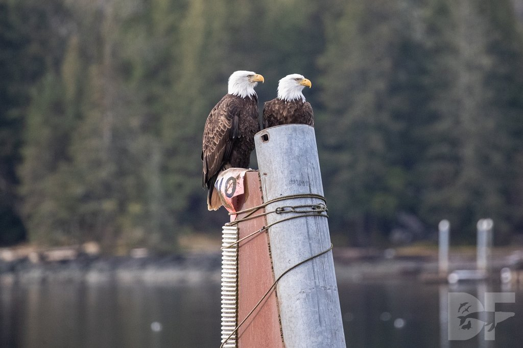 Eagles of Thomas Basin