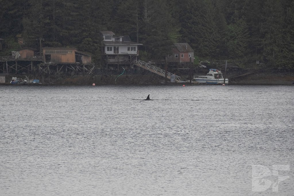 Killer Whales of K Town