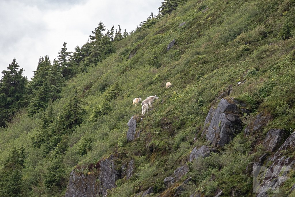 Goats of Brown Mountain