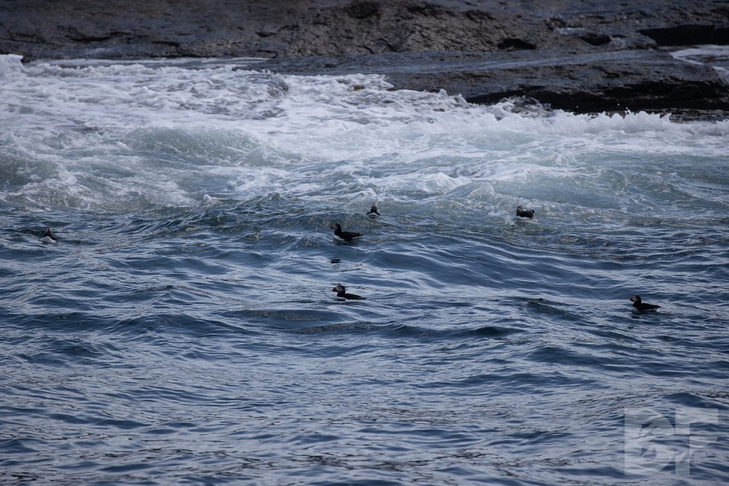 Puffin Party VII