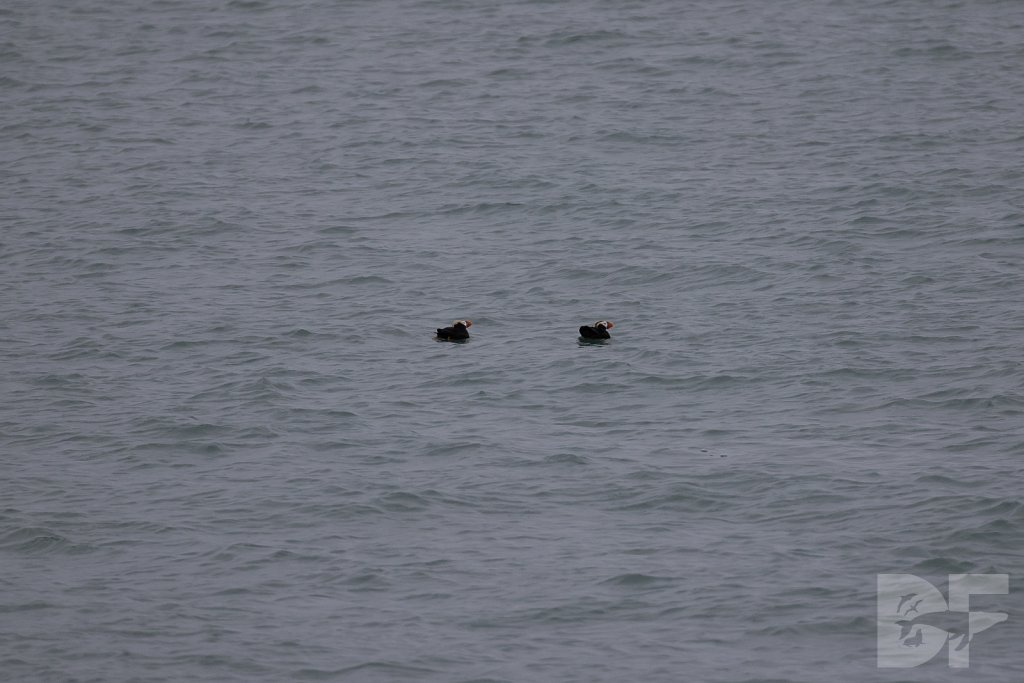 Tracy Arms Tufted Puffins I