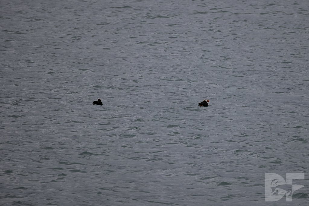 Tracy Arms Tufted Puffins II
