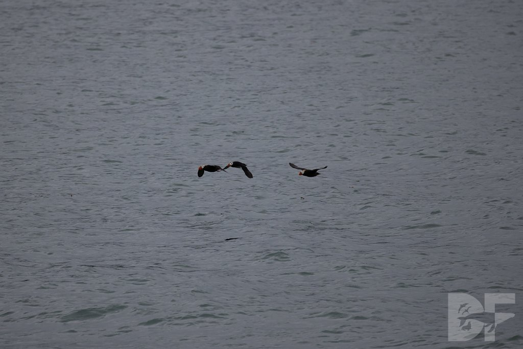 Tracy Arms Tufted Puffins III