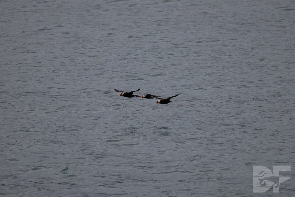 Tracy Arms Tufted Puffins IV